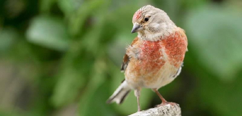 L'oiseau Linnet | Situation géographique | L'alimentation de la linotte