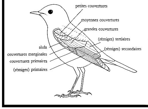 Comment identifier un oiseau