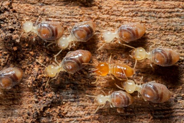 Quels impacts ont les termites sur votre maison ?