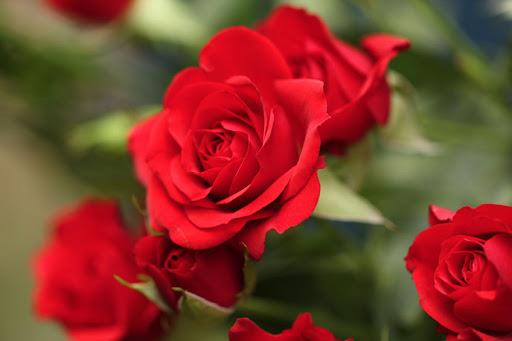 Quelles sont les informations utiles sur la rose éternelle ?